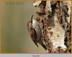 treecreeper-38.jpg