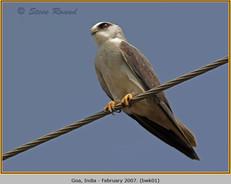 black-winged-kite-01.jpg