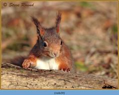 red-squirrel-39.jpg