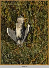 grey-heron-35.jpg