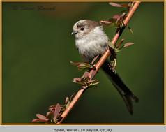 long-tailed-tit-38.jpg