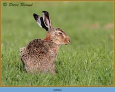 brown-hare-95.jpg