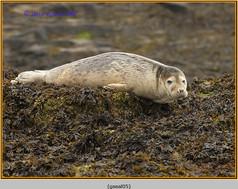 grey-seal-05.jpg