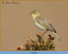 willow-warbler-48.jpg