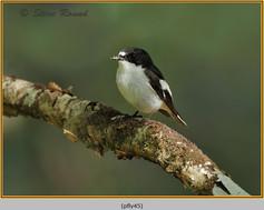 pied-flycatcher-45.jpg