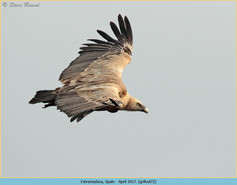 griffon-vulture-72.jpg