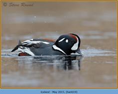 harlequin-duck-19.jpg