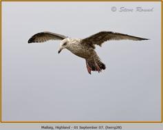 herring-gull-28.jpg