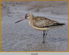 bar-tailed-godwit-28.jpg