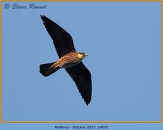 eleonoras-falcon-07.jpg