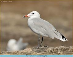 audouin's-gull-39.jpg