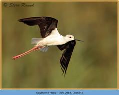 black-winged-stilt-54.jpg