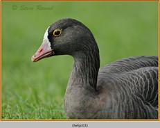 lesser-white-fronted-goose-03c.jpg