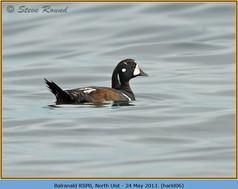 harlequin-duck-06.jpg