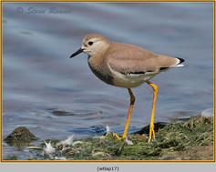 white-tailed-lapwing-17.jpg