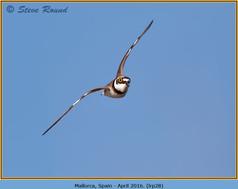 little-ringed-plover-28.jpg