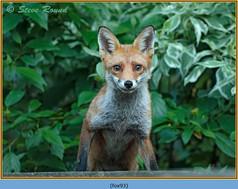 fox-93.jpg