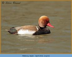 red-crested-pochard-12.jpg