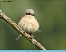 red-backed-shrike-11.jpg