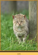 wildcat-02.jpg