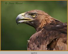 golden-eagle(c)-01.jpg