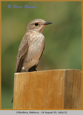spotted-flycatcher-15.jpg