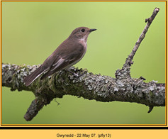pied-flycatcher-13.jpg
