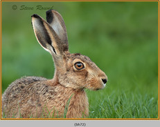 brown-hare-72.jpg