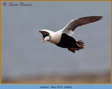 eider-duck- 85.jpg