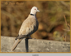 collared-dove-14.jpg