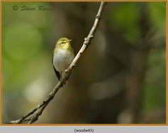 wood-warbler-45.jpg
