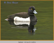 tufted-duck-01.jpg