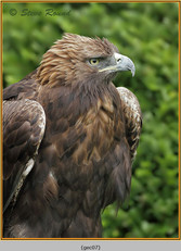 golden-eagle(c)-07.jpg