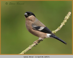 bullfinch-37.jpg