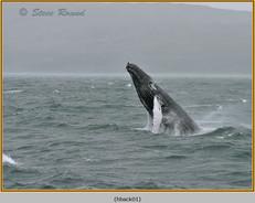 humpback-whale-01.jpg