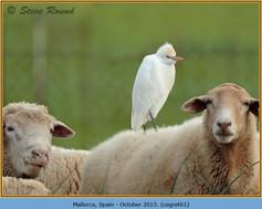 cattle-egret-61.jpg