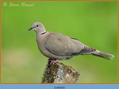 collared-dove-20.jpg
