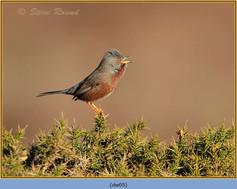 dartford-warbler-05.jpg