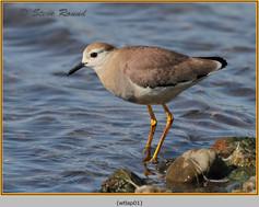 white-tailed-lapwing-01.jpg