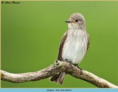 spotted-flycatcher-37.jpg