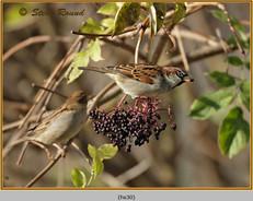 house-sparrow-30.jpg