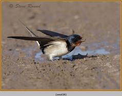 swallow-38.jpg