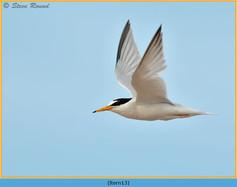 little-tern-13.jpg