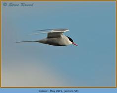 arctic-tern-58.jpg