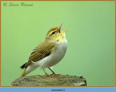 wood-warbler-61.jpg