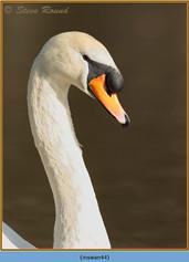 mute-swan-44.jpg
