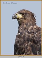 white-tailed-eagle(c)-02.jpg
