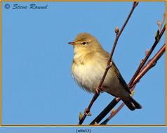 willow-warbler-53.jpg