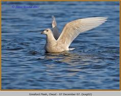 iceland-gull-02.jpg