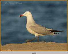 audouin's-gull-04.jpg